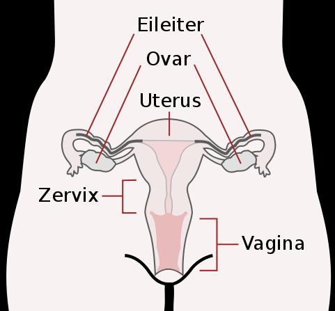 Gebärmutter Myome