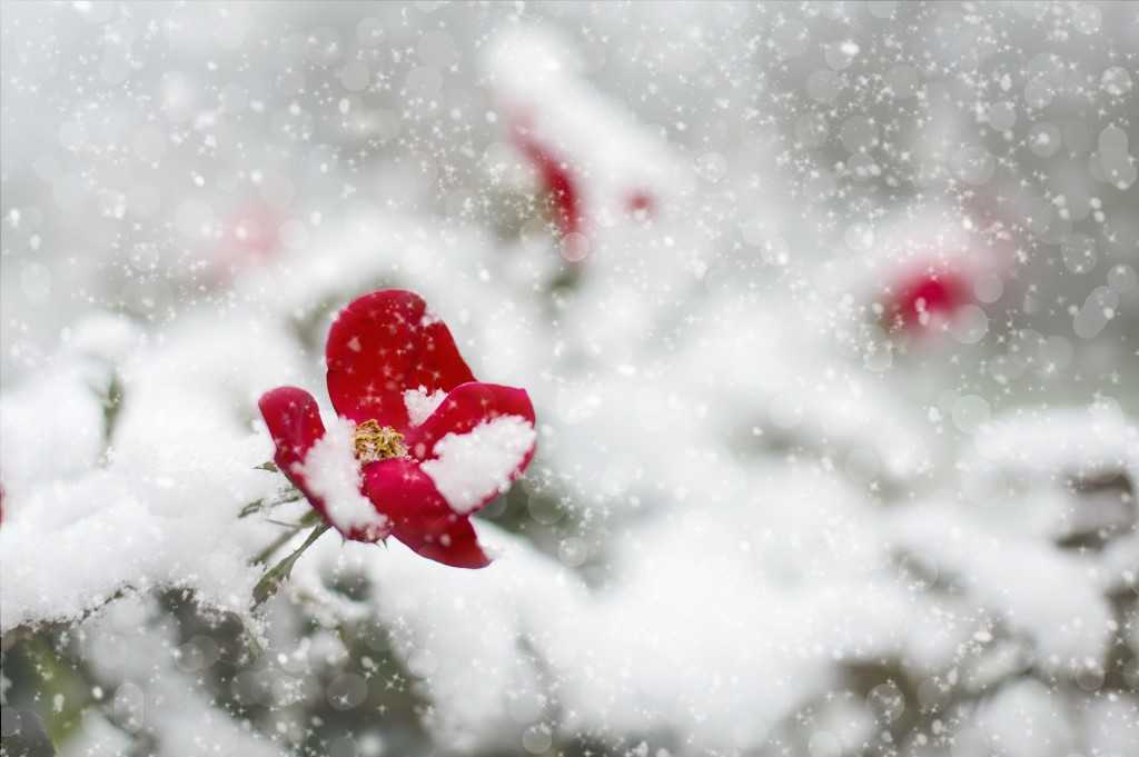 Rose_Schnee