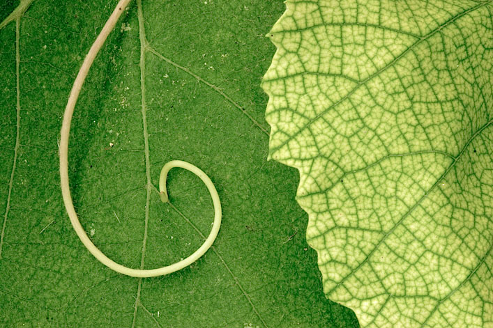 The Leaf and the Tendril